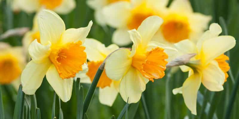 A New Daffodils Variety Gets Name After Prince George