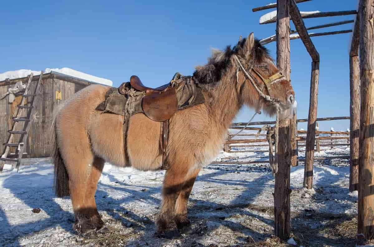 Siberias Yakut Horses Beat The Cold Happily