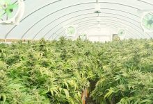 Photo of SunPath's Daylight Delivery Platform Maximizes Cannabis Yield